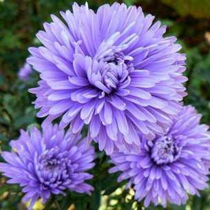 Пышноголовая садовая красавица астра помпонная