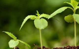 Проросток стимулятор иммунитета растений