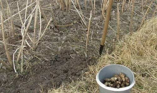 Топинамбур - как вырастить хороший урожай, уход, полив, видео