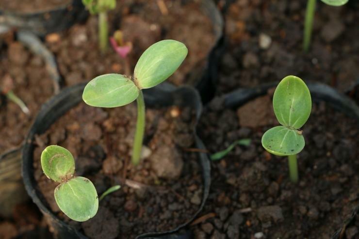 Подготовка земли для рассады перцев в домашних условиях