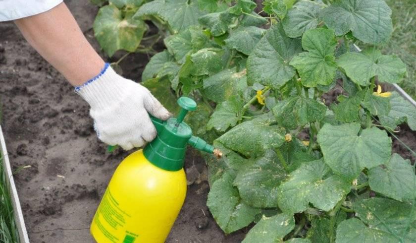 Как использовать луковую шелуху на огороде