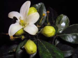 Жасмин – размножение черенками и отводками как способ сохранить сортовые качества