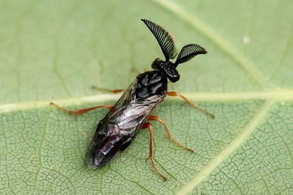 Боремся с гусеницами соснового пилильщика