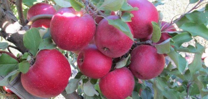 Яблоня глостер: фото и описание сорта, особенности посадки и ухода, отзывы садоводов