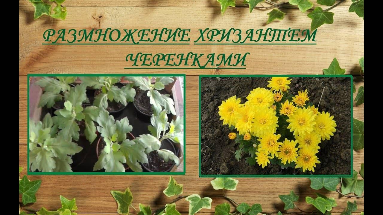 Как размножить хризантему черенками осенью. укореняю черенки хризантем по-новому