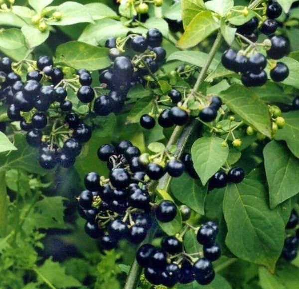 Санберри: полезные свойства ягоды, противопоказания