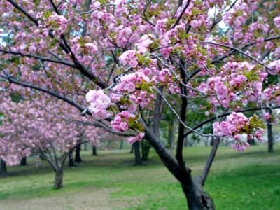 Розовая акация в неласковом климате средней полосы