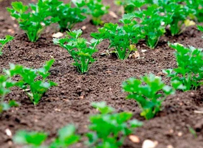 Кинза – выращивание из семян от посева до сбора кориандра