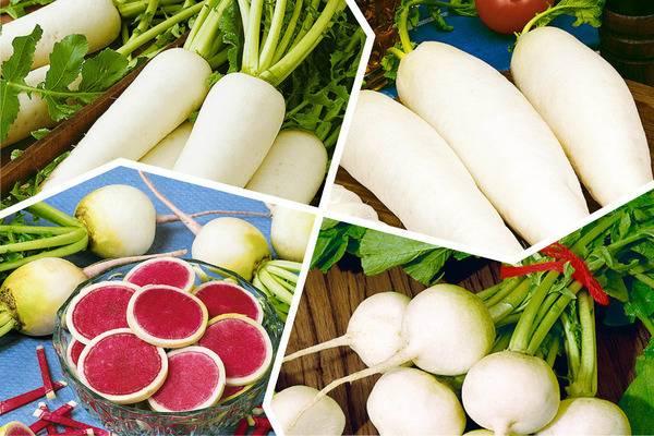 Редька дайкон – полезные свойства и лучшие рецепты приготовления блюд из корнеплода