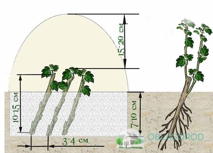 Размножение кислицы: простые способы, как получить новый оригинальный кустик