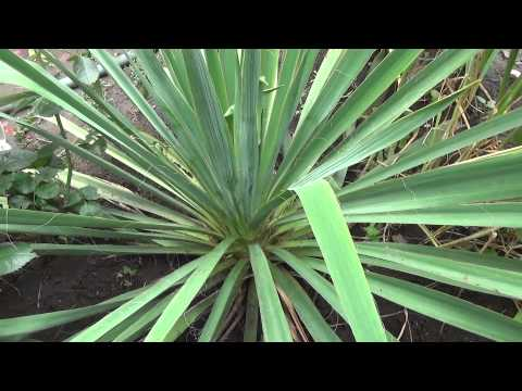 Юкка садовая — описание, виды, посадка, полив, утепление и болезни + 68 фото