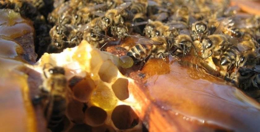 Изготовление апидомика пчелы