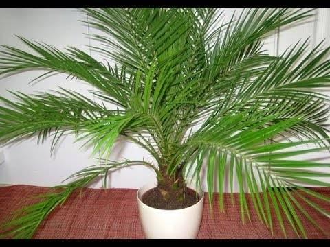 Финиковая пальма: описание и выращивание в домашних условиях