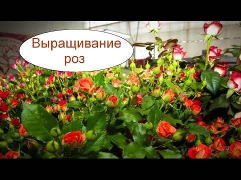 Выгонка тюльпанов в домашних условиях: пошаговая инструкция и правила агротехнических мероприятий