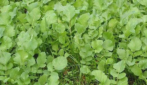 Редька масличная как сидерат для сада и огорода