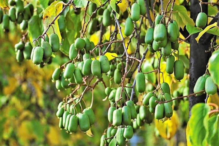 Выращивание актинидии в саду: советы для дачников