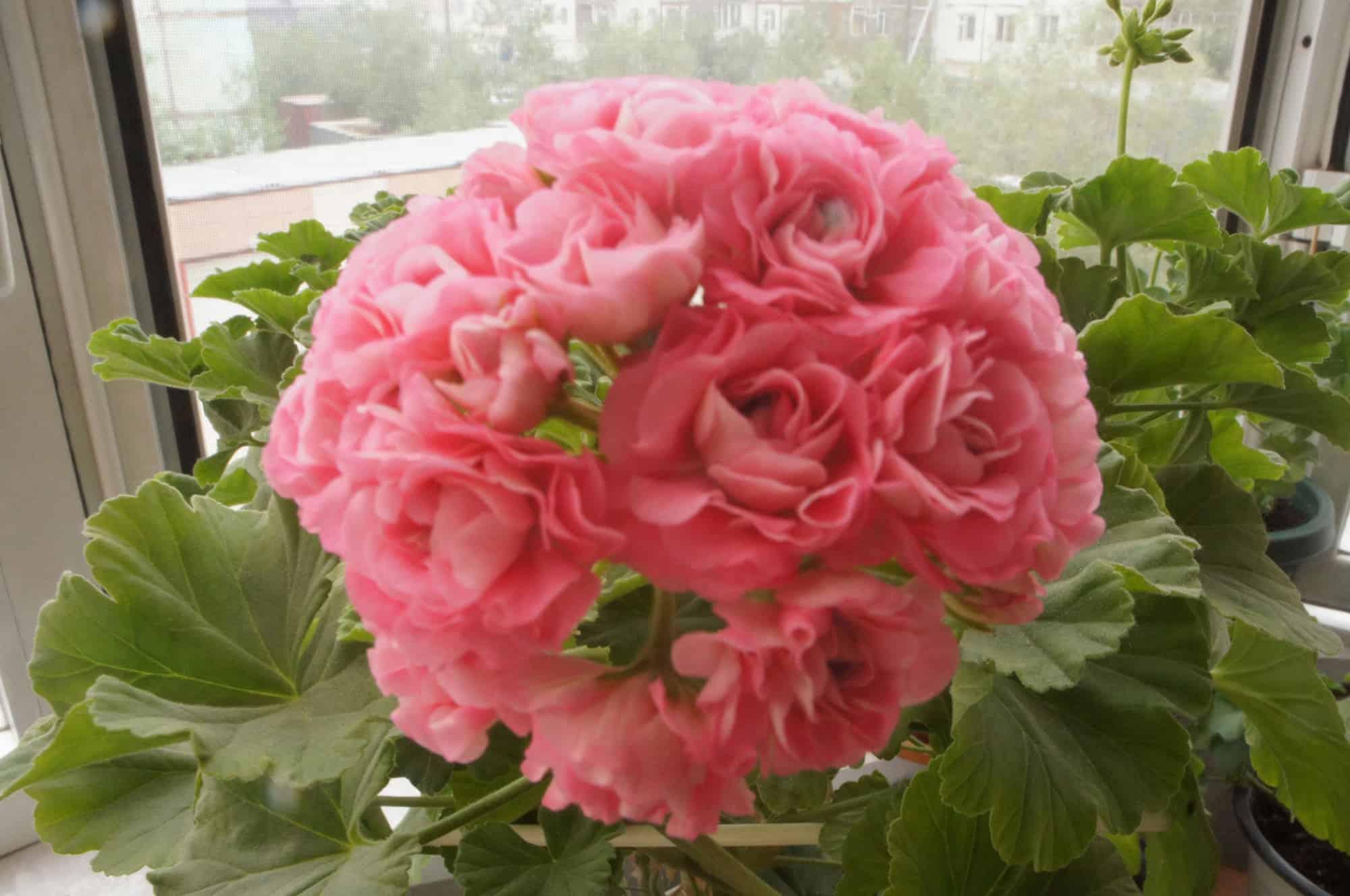 Как выращивать герань розебудную дома и в саду? описание цветка и его популярных сортов