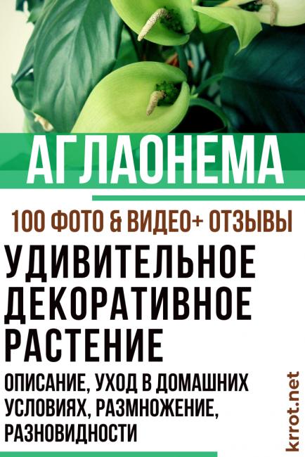 Комнатная аглаонема — фаворитка декоративно-лиственных культур