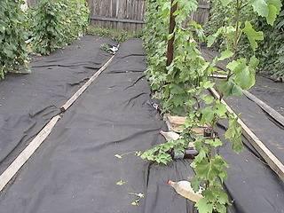 Капуста брокколи: технология выращивания и уход в открытом грунте