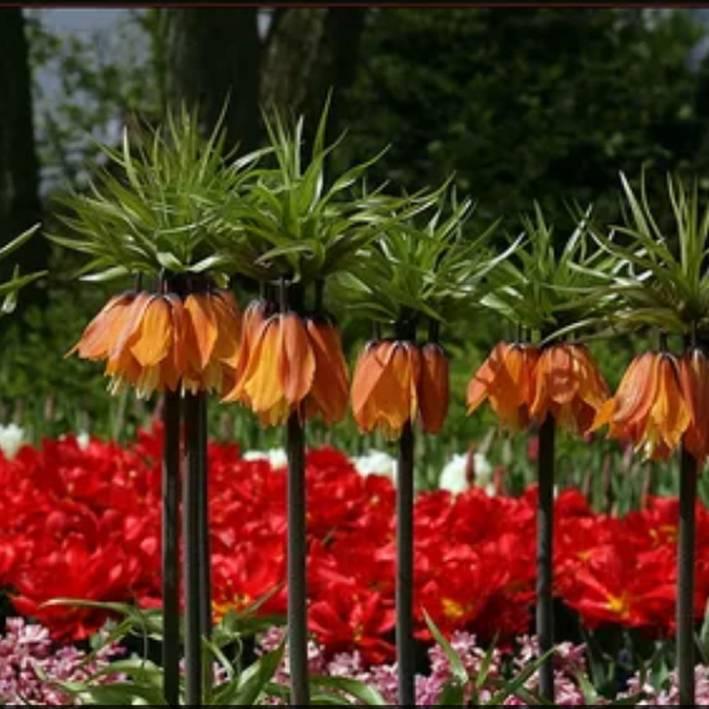 Цветок рябчик императорский: сорта, фото, особенности посадки и ухода