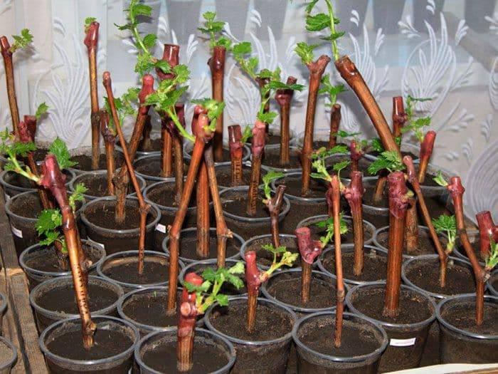 Как размножать виноград — характеристика и описание способов