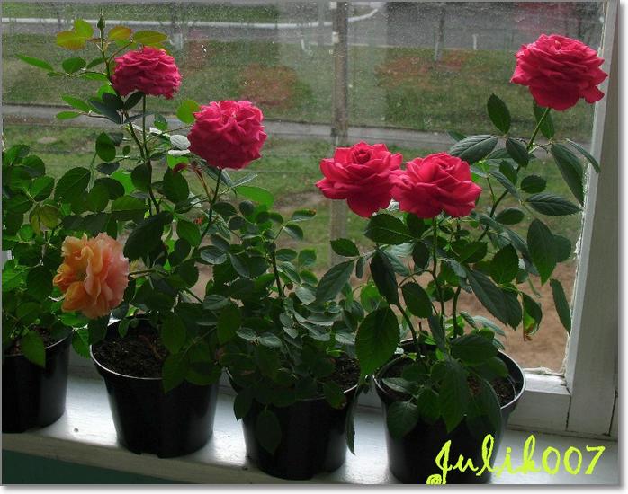 Архив метки: розы