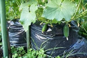 Способы выращивания огурцов - в мешках, бочке, бутылках