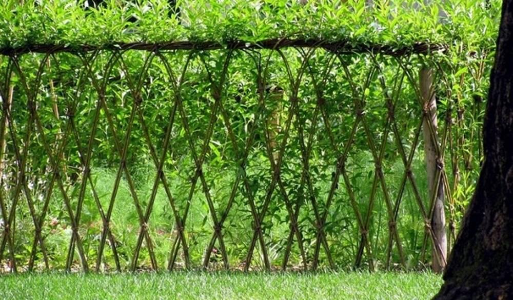 Живая изгородь из бирючины обыкновенной: секреты садовода, посадка