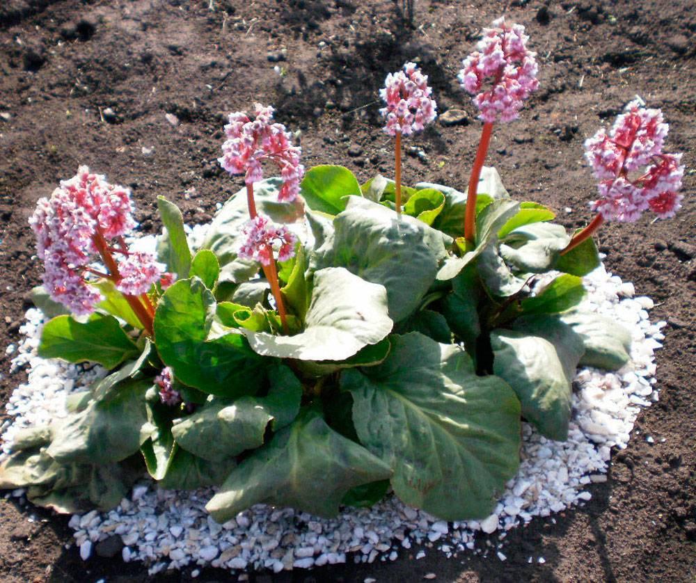 Бадан: посадка и уход в открытом грунте, выращивание из семян
