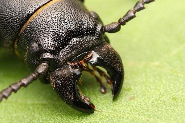 Чем опасен жук стригун для урожая и садовых растений? примеры борьбы видео и фото