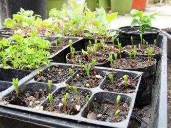 Выращивание чечевицы на даче