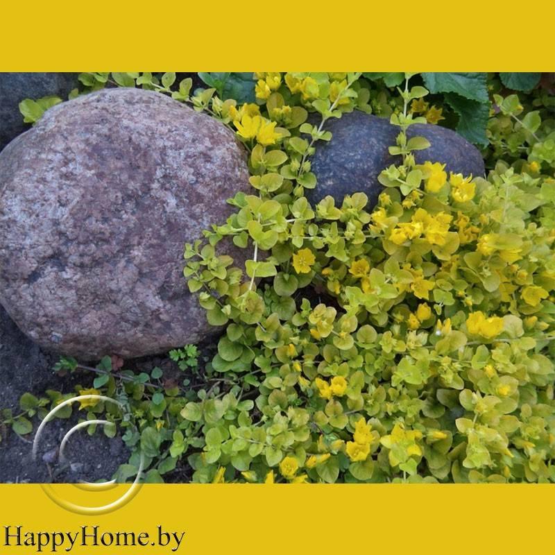 Вербейник посадка и уход в открытом грунте размножение фото сортов в ландшафтном дизайне