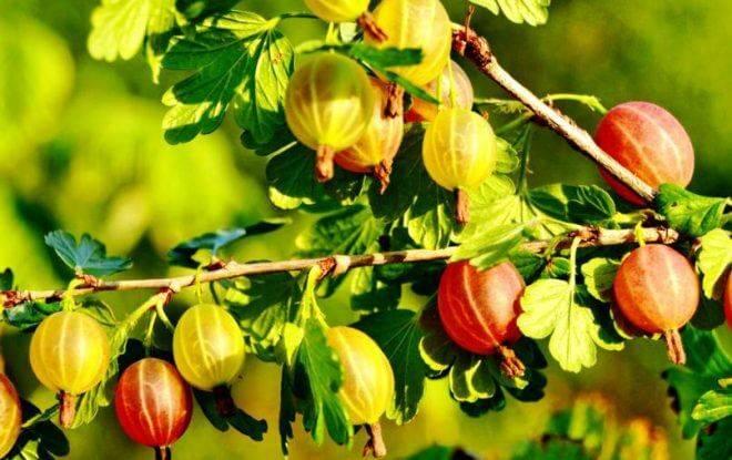 Чем подкормить крыжовник весной, летом и осенью