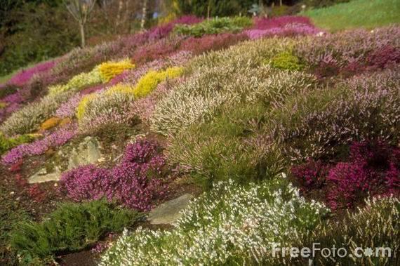 Цветок похожий на вереск название. символ шотландии вереск — кустарник бессмертия