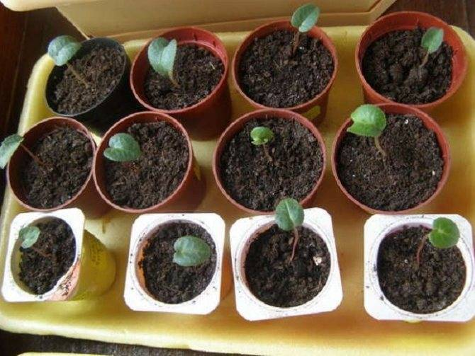 Как вырастить цикламен из семян