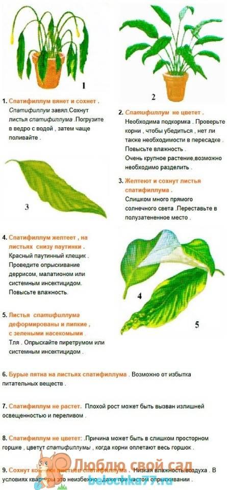 Почему желтеют листья спатифиллума