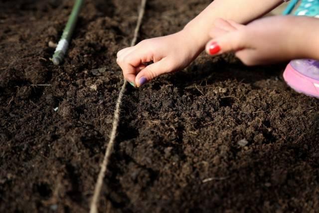 Мелисса посадка и уход в открытом грунте лечебные свойства