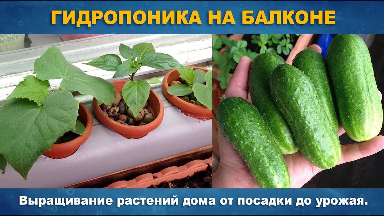 Как выращивать огурцы в гидропонике, на грядке ()