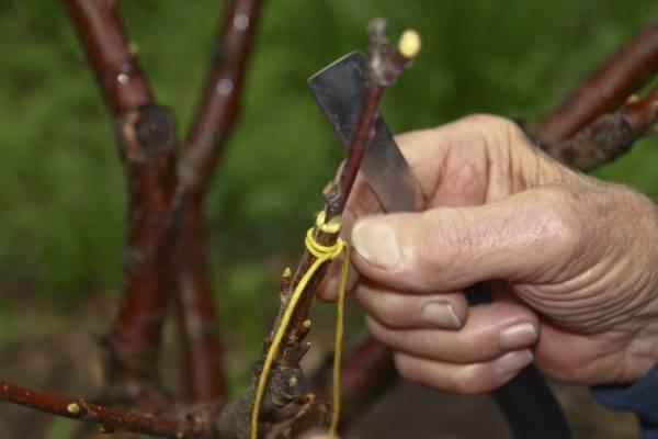 Прививка плодовых деревьев (видео)