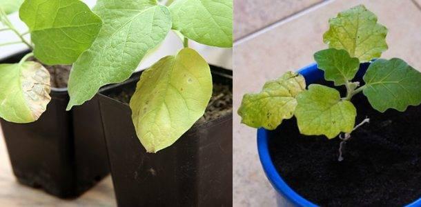 Желтеют листья у баклажан: что делать и как найти проблему? 99 фото и поиски причин