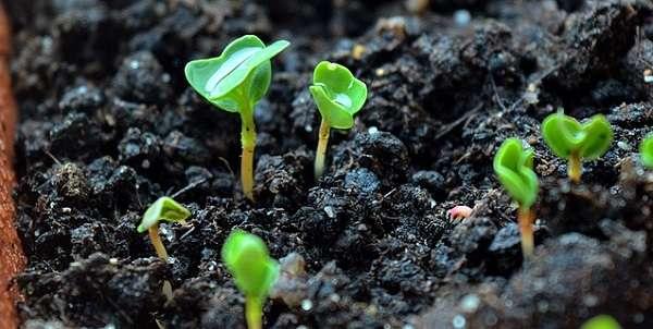 Какие цветы сеять на рассаду в январе 2020 года: сроки посева