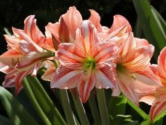 Когда лучше разбудить гиппеаструм после периода покоя и как это сделать? стимуляция цветения