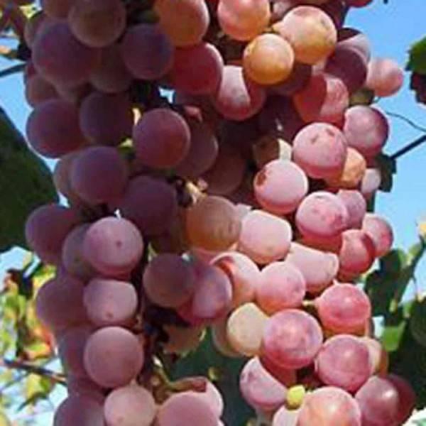 Сорта винограда — лучшие сорта, характеристики и особенности выращивания (75 фото)