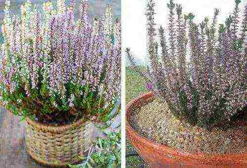 Вереск: особенности выращивания и ухода