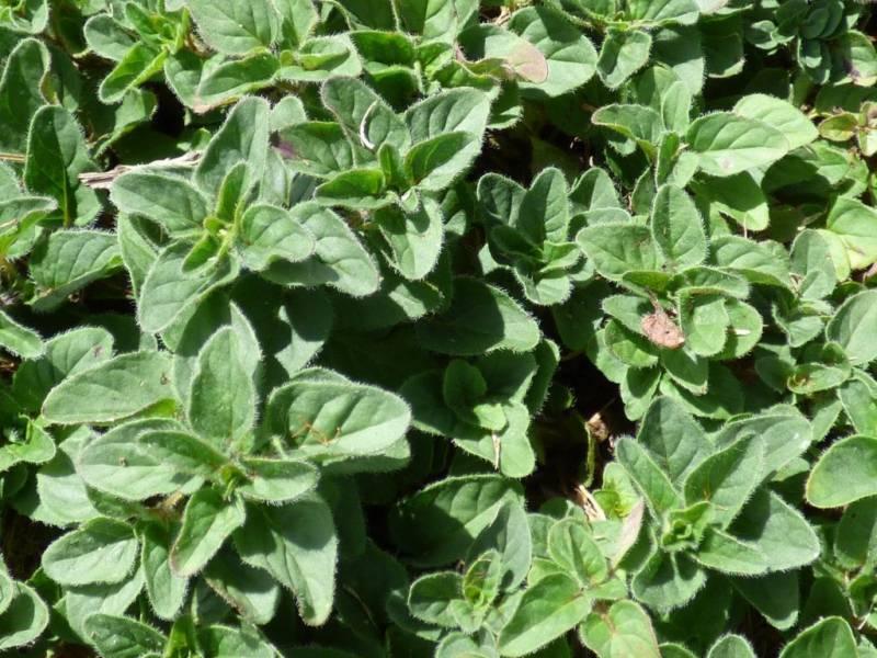 Майоран – выращивание из семян