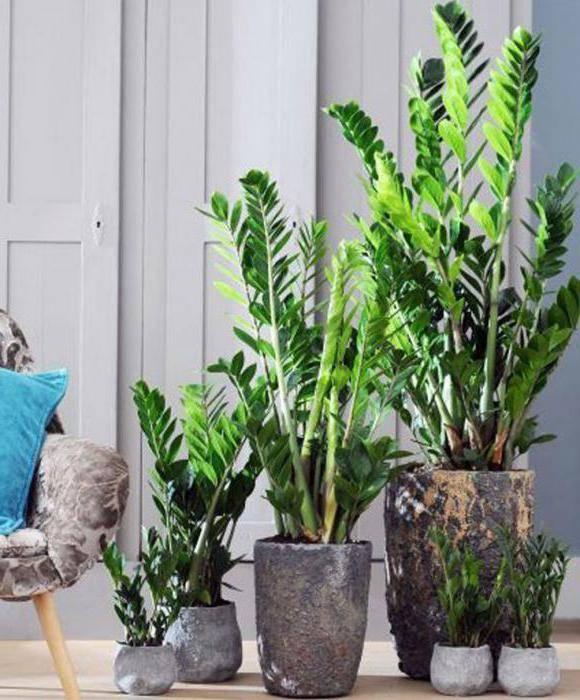 Замиокулькас - уход в домашних условиях, размножение
