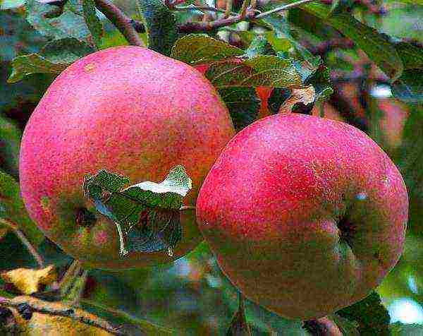 Колонновидные яблони: невысокие красавицы с высокой урожайностью