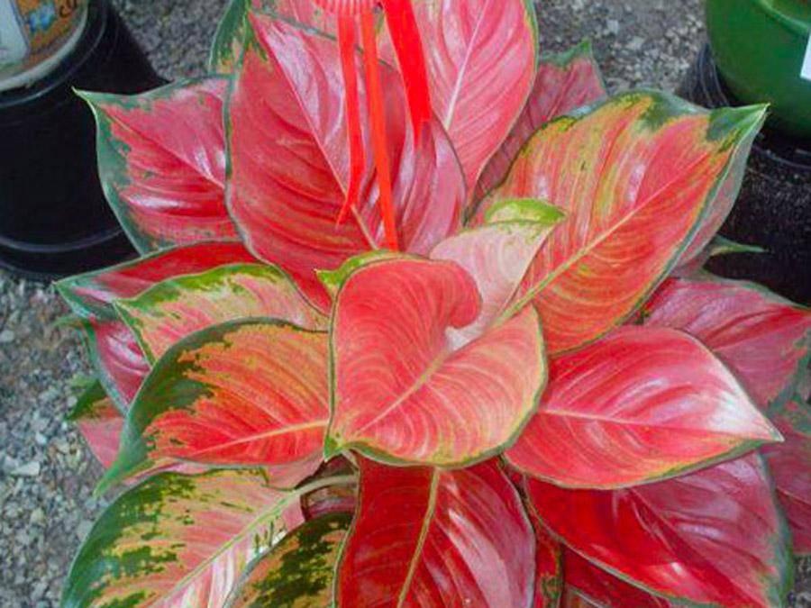 Виды и сорта аглаонемы