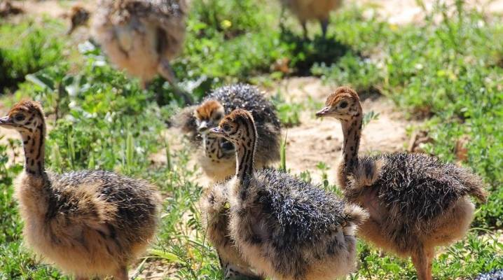 Как выращивать страусов: организация небольшой минифермы