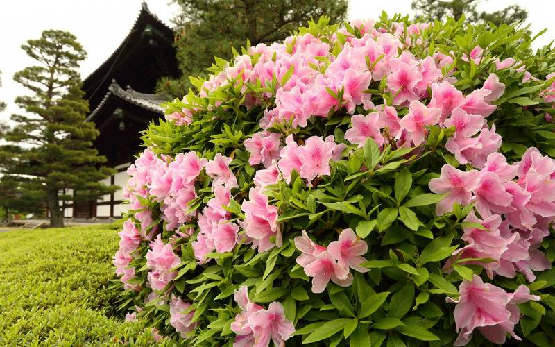 Рододендроны на урале: посадка и уход, укрытие на зиму, сорта, выращивание